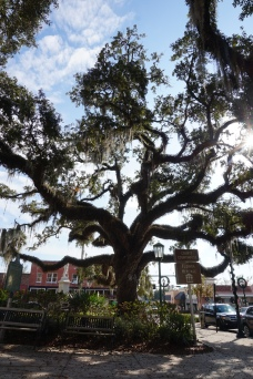 Spectacular oak tree in Downtown Brooksville